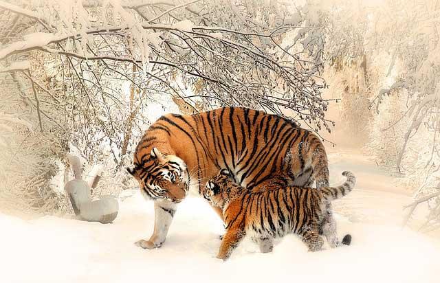 tigre-protezione